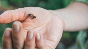 حساسیت به نیش زنبور عسل و کمکهای اولیه