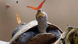 پروانه و نوشیدن اشک لاکپشت