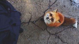 بازدید از دهکده روباه در ژاپن و عکاسی از این مخلوقات زیبا