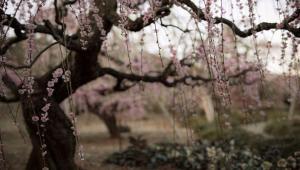 عکاسی از درختان آلو در آستانه بهار در کشور ژاپن