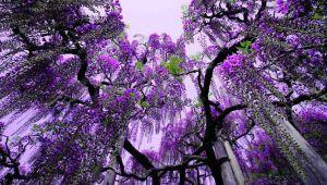 جشنواره گل های ویستریا در ژاپن