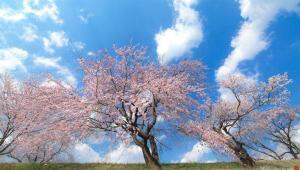 عکاسی از جشنواره شکوفه های گیلاس معروف به هانامی در کشور ژاپن
